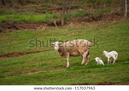 Newly born lambs with their mother standing in the field in North Carolina. The baby sheep are less than a few days old.