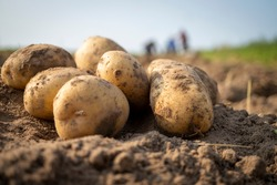 Newly dug or harvested potatoes in a farm field in a low angle view on rich brown earth in a concept of food cultivation