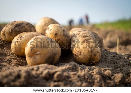 Newly dug or harvested potatoes in a farm field in a low angle view on rich brown earth in a concept of food cultivation Stock fotó ©