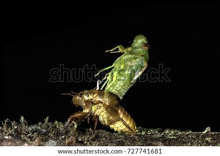 Newly emerge molting cicada at night isolated on black background
