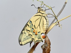 newly emerged butterfly from the chrysalis, swallowtail butterfly. Papilio machaon