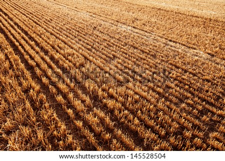 Newly harvested cereal field.  Diminishing Perspective for Backgrounds or Texture. Valladolid, Castilla y Leon, Spain