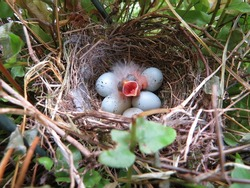 Newly hatched baby Purple House Finch in nest surrounded by 5 unhatched eggs.