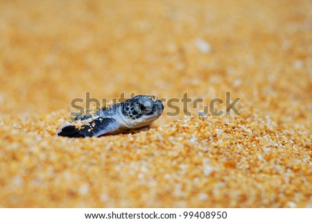 Newly hatched baby turtle came out from sand