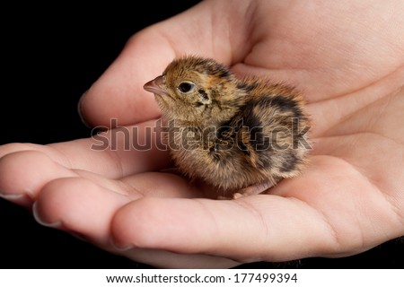 Newly hatched brown and yellow baby quail being held in a hand