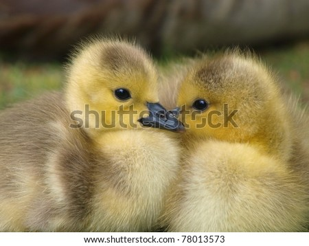 Newly hatched Canadian goslings