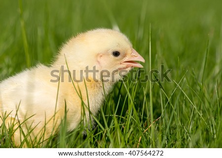 newly hatched chick on a green grass selective focus copy space