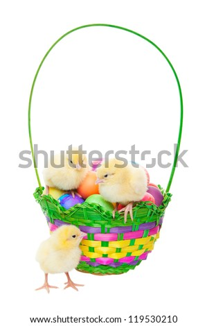 Newly hatched chicks in an Easter basket filled with dyed eggs.  Shot on white background.