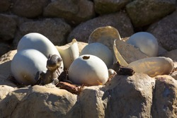 Newly hatched dinosaur eggs