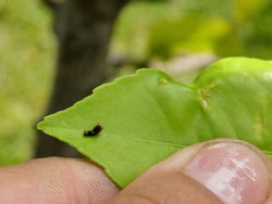 Newly hatched Giant Western Swallowtail butterfly larva. Caterpillar on Meyer Lemon tree leaf