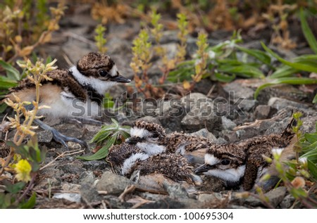 Newly hatched killdeer chick in nest with eggs