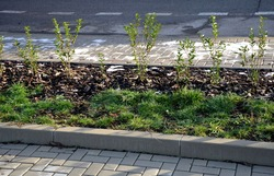 newly planted hedge seedlings privet shrub evergreen in winter. long strip of flowerbed with lawn at the curb on the street. when they grow up they will separate the traffic of the road