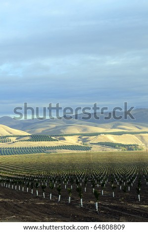 Newly planted orange trees in the Southern San Joaquin Valley, California