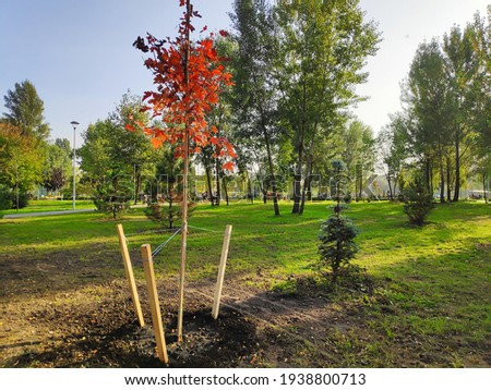 Newly planted red orange golden maple trees in a row in city park at spring summer in sunny day, nature ecology earth save concept. Сток-фото ©