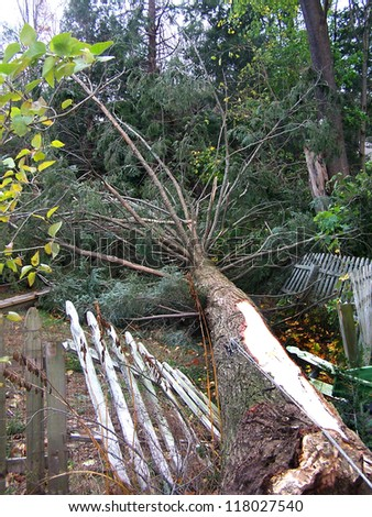 NEWTOWN, CONNECTICUT USA - OCTOBER 29: Aftermath of Hurricane Sandy toppling a tree on to a picket fence in Newtown, Connecticut on October 29, 2012