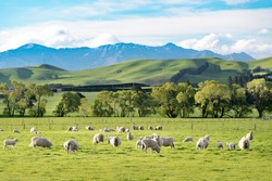 NewZealand Landscape on the way to Christchurch ,many sheep are eating glass and the scene is very beautiful of mountain background. This is summer time. There is a bit of snow on the top of mountain.