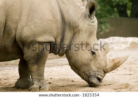 Next to the elephant, the white rhino is the largest land mammal and can weigh up to 3.6 metric tons.