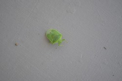 Nezara viridula, commonly known as the southern green stink bug, southern green shield bug or green vegetable bug is a plant- feeding  stink bug. The body is bright green and shield- shaped.