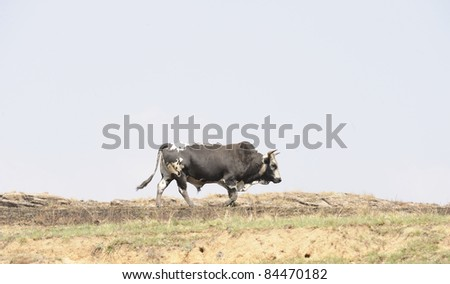 nguni bull on skyline. Nguni are an ancient breed of tough african cattle