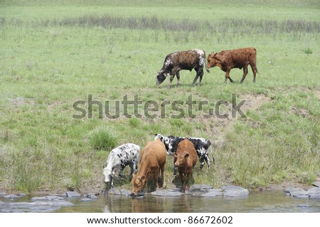 Nguni cattle,an indigenous african breed favoured for the variously patterned hides  and hardy nature, drinking from the Umzimkulu river