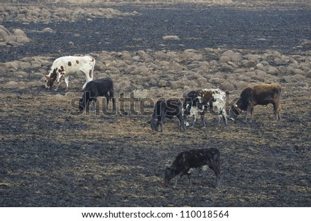 Nguni cattle belonging to subsistance farmers graze on burned veld in the foothills of the drakensberg,kwazulu natal,south africa. Nguni are a hardy breed of indigenous cattle