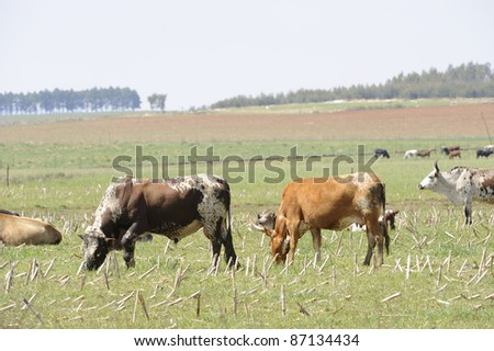 Nguni cattle in a field,underberg,kwazulu natal,south africa
