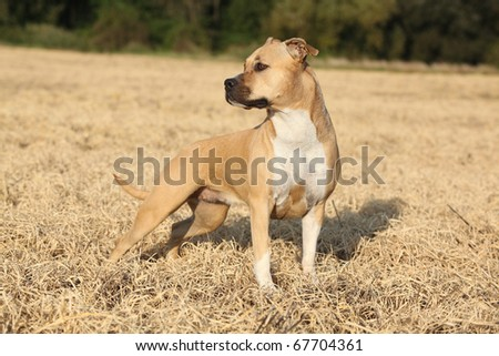Nice American Staffordshire Terrier