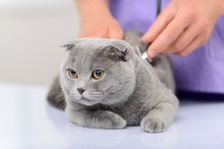 Nice animal. Little grey cat sitting on the table and being examined by professional vet  involved in work