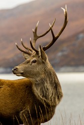 Nice array of antlers on display on stag at Glen Garry in the Highlands of Scotland.