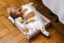 Nice big adult ginger and white cat sleeping in box