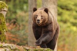 nice big female brown bear