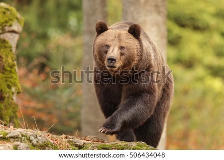 nice big female brown bear #506434048