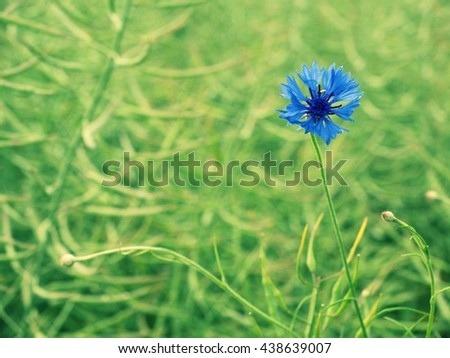 Nice blue flower cornflower in blossom. Fresh green ripe oilseed rape field in background. Foto stock ©