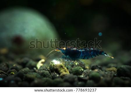 Nice Blue Tiger Orange eyes shrimp in freshwater tank #778693237