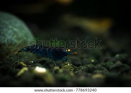 Nice Blue Tiger Orange eyes shrimp in freshwater tank #778693240