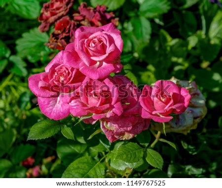 Free photos pink rose bush flower background rose close up nice bright pink flowers of blooming rose in the garden in midsummer at a sunny day mightylinksfo