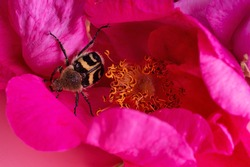 nice bug seating in may roses. extreme  macro shot