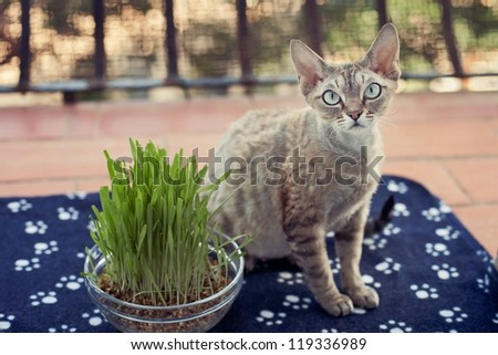 Nice cat sitting on the balcony with pot of grass