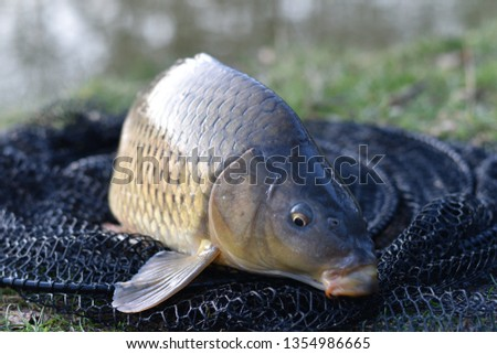 nice catched carp #1354986665