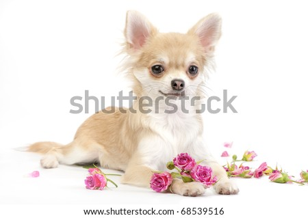 nice chihuahua dog with roses flowers on white background