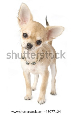nice chihuahua puppy with necklace portrait  isolated on white