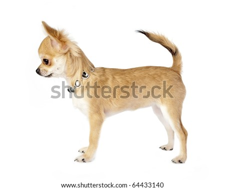 nice chihuahua puppy with necklace standing on white background side view