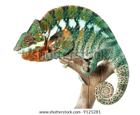 Nice colorful male chameleon lizard
