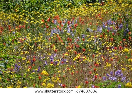 Nice, colorful, wide look at a Cascade Mountain meadow filled with red, yellow and purple wildflowers, including Indian Paintbrush and Lupine, on a nice early summer day in Washington state.