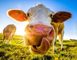 nice cow at a farm - bavaria
