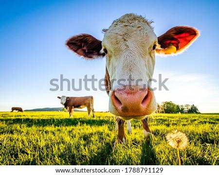 nice cow at a farm - bavaria Stock photo ©