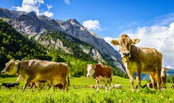 nice cow at the eng alm in austria
