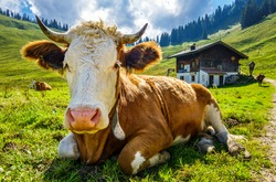 nice cow at the european alps