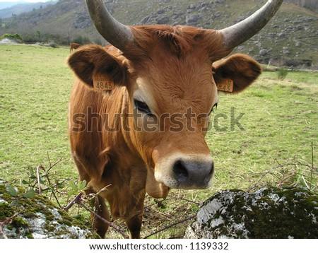 Nice cow portrait