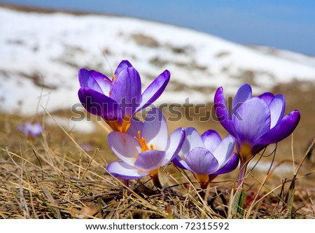 Nice crocuses in mountains